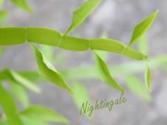สมุนไพรตะขาบบิน/ว่านตะขาบMuehlenbeckia platyclada