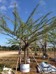 ต้นเป็ดฝรั่ง