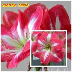 ว่านสี่ทิศ monte carlo