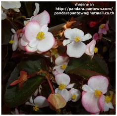 Begonia Adam Pink P
