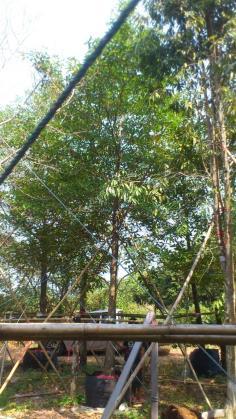ต้นกัลเกรา