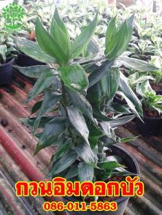 ขายต้นกวนอิมดอกบัวราคาถูก