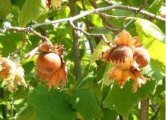 ต้น hazel nut tree