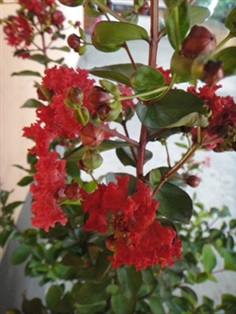 Red Crape Myrtle