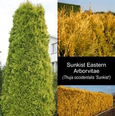 สน Sunkist Eastern Arborvitae