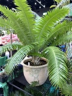 ปรงไดอูน (Dioon spinulosum)