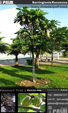 กล้าจิกสวน (Barringtonia Racemosa)