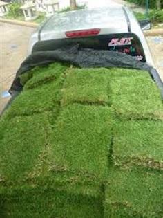 ขายหญ้า นวลน้อย มาเลย์ ญี่ปุ่น