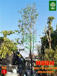 ขายต้นพยอมลำต้น 7นิ้วฟอร์มสวย