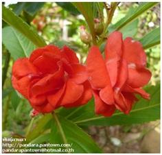 ดอกเทียนไทยสีแดงดอกซ้อน