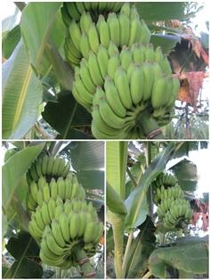 กล้วยระวะ