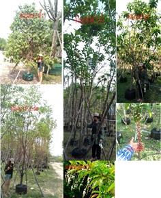 ขายไม้ล้อม สำเร็จรูป - ต้นบุหงาส่าหรี ต้นกันเกรา ต้นบุนนาค ต้นจิกมุจรินทร์