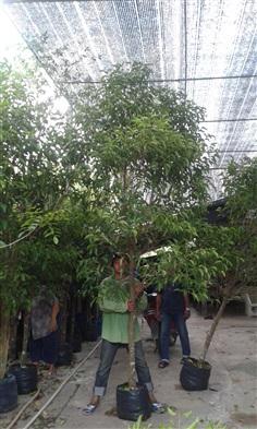 ต้นพิกุล/ปลูกฟรี