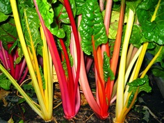 Swiss Chard : Rainbow Mix / 15 เมล็ด