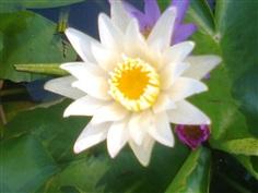 บัวประดับ สีขาว   Nymphaea lotus Linn.
