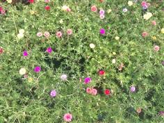 แพรเซี่ยงไฮ้ Moss Rose,Sun plant Sun Rose.