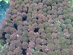 ไม้คลุมดินผักเป็ดแดง Alternanthera sessilis (Linn.) R. Br.