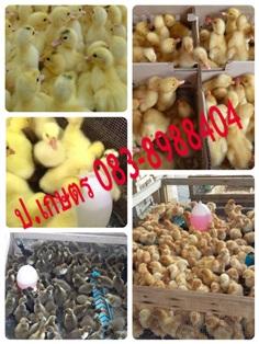 ลูกเป็ดไข่/ไก่ไข่ ไก่สามสาย เป็ดบราบารี่ เป็ดปักกิ่ง นครปฐม