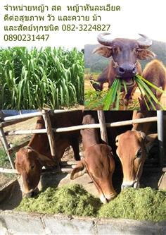 ขายหญ้าสำหรับ ม้า วัว ควาย