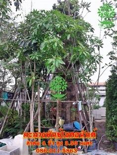 ขายต้นมะม่่วงโชคอนันต์4นิ้วสูง3.50เมตร
