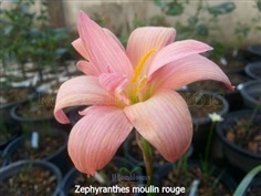 Zephyranthes Moulin rouge