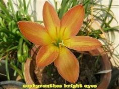 Zephyranthes bright eyes