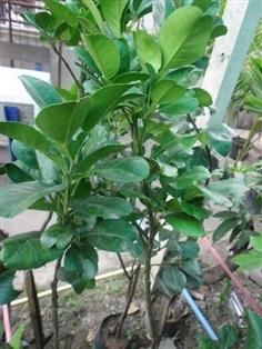 ต้นส้มโอทองดี ขาวน้ำผึ้ง