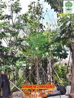 ขายชมพู่มะเหมี่ยวลำต้น 6นิ้วสูง 6-7 เมตรฟอร์มสวย
