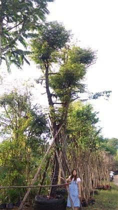 ขายไม้ล้อม ขายต้นอินจัน 13 นิ้ว สูง 6.5 เมตร