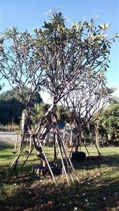 ต้นลีลาวดี(ขาวพวง)