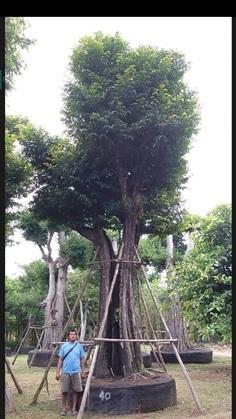 ต้นอินจัน