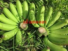 กล้วยทองเสา