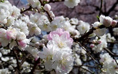 ดอกเหมย Prunus persica white flower
