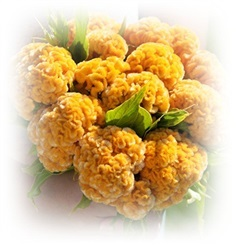 Chief Gold Celosia Seed