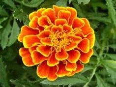 เมล็ดดอกดาวเรืองฝรั่งเศล French marigold