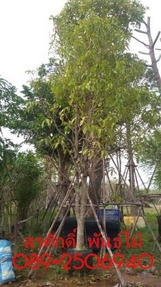ต้นมะม่วง