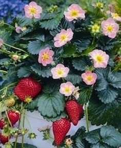 Pikan Strawberry Seeds