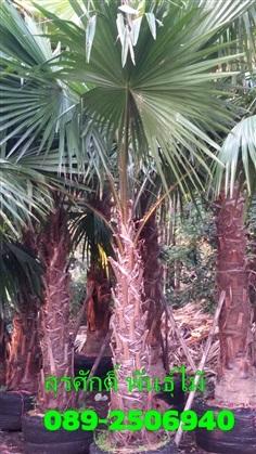 ต้นปาล์มยะวา