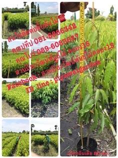 อโศกอินเดีย จำหน่ายต้นอโศกอินเดีย ต้นอโศกราคาถูก