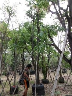 ต้นมะปราง 9 นิ้ว