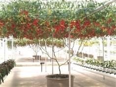 มะเขือเทศต้นอิตาลี่ Italian tomato tree