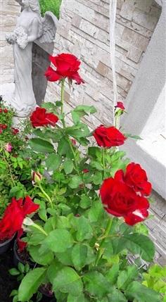 Red Cabara Rose
