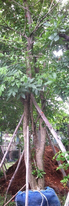 ต้นน้ำเต้าอินเดีย