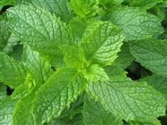 เมล็ดสเปียมินต์ Spearmint Mentha Spicata Mint