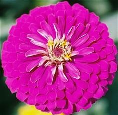 ดอกบานชื่นดอกซ้อนสีม่วง Purple CHERRY QUEEN ZINNIA