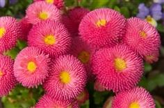 ดอกอิงลิช เดซี่ คละสี  English Daisy Mixed