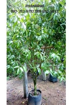 ต้นมะยงชิด