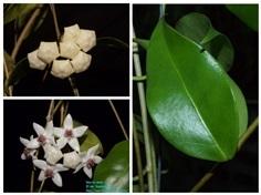 Hoya Iris Marie