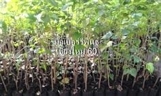 ต้นมัลเบอร์รี่พันธุ์เชียงใหม่ 60 (หม่อนกินผล)ขนาดสูงประมาณ 1
