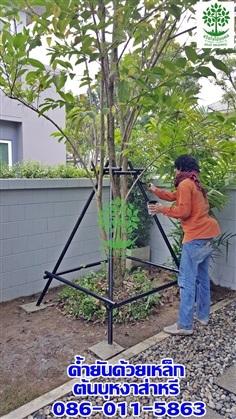 รับค้ำยันต้นไม้ด้วยเหล็ก(ต้นบุหงาส่าหรี)